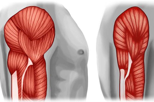La sarcopènia: la pèrdua de força i massa muscular amb els anys